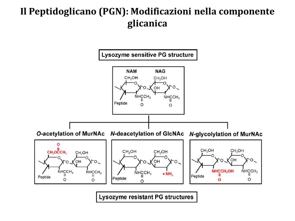 Il Peptidoglicano (PGN): Modificazioni nella componente glicanica