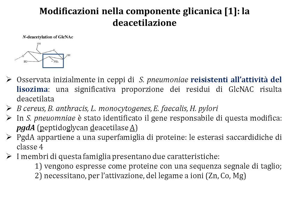 Modificazioni nella componente glicanica [1]: la deacetilazione  Osservata inizialmente in ceppi di S. pneumoniae reisistenti all'attività del lisozi