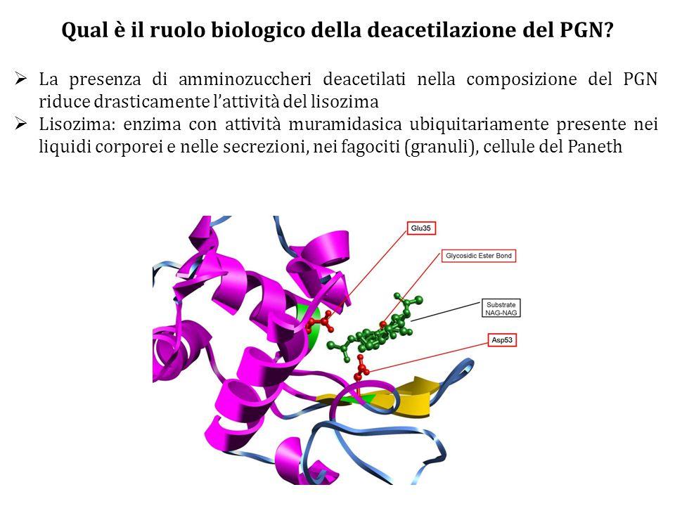 Qual è il ruolo biologico della deacetilazione del PGN?  La presenza di amminozuccheri deacetilati nella composizione del PGN riduce drasticamente l'