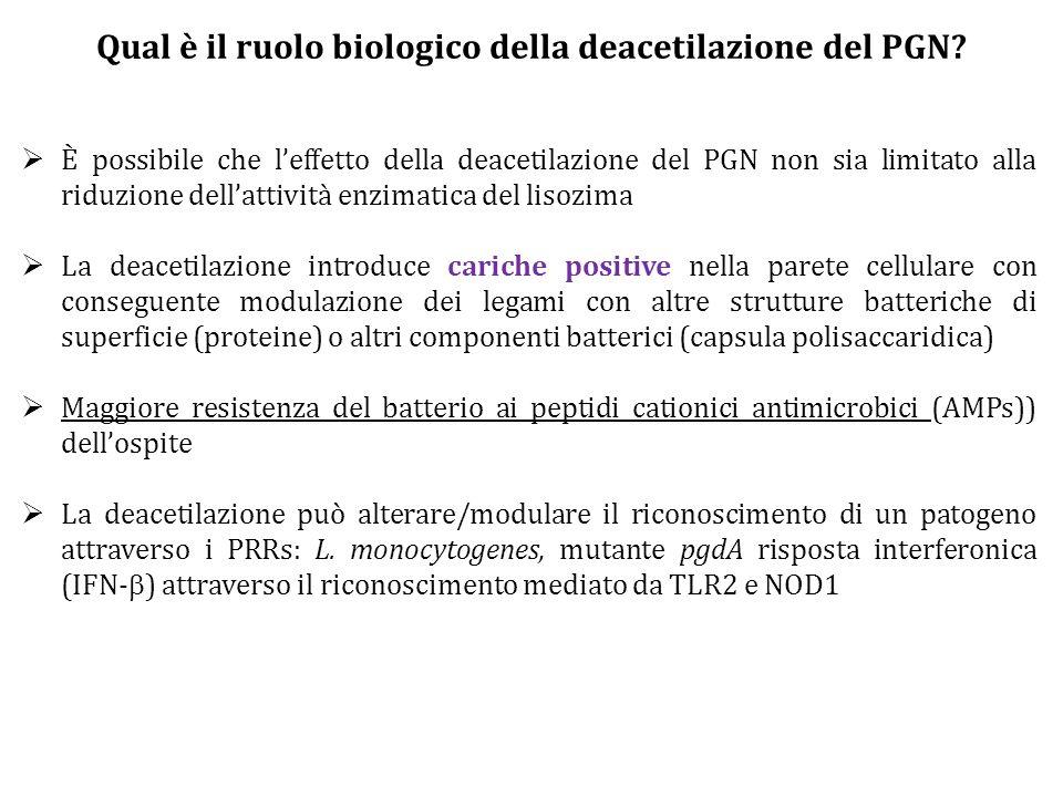 Qual è il ruolo biologico della deacetilazione del PGN?  È possibile che l'effetto della deacetilazione del PGN non sia limitato alla riduzione dell'