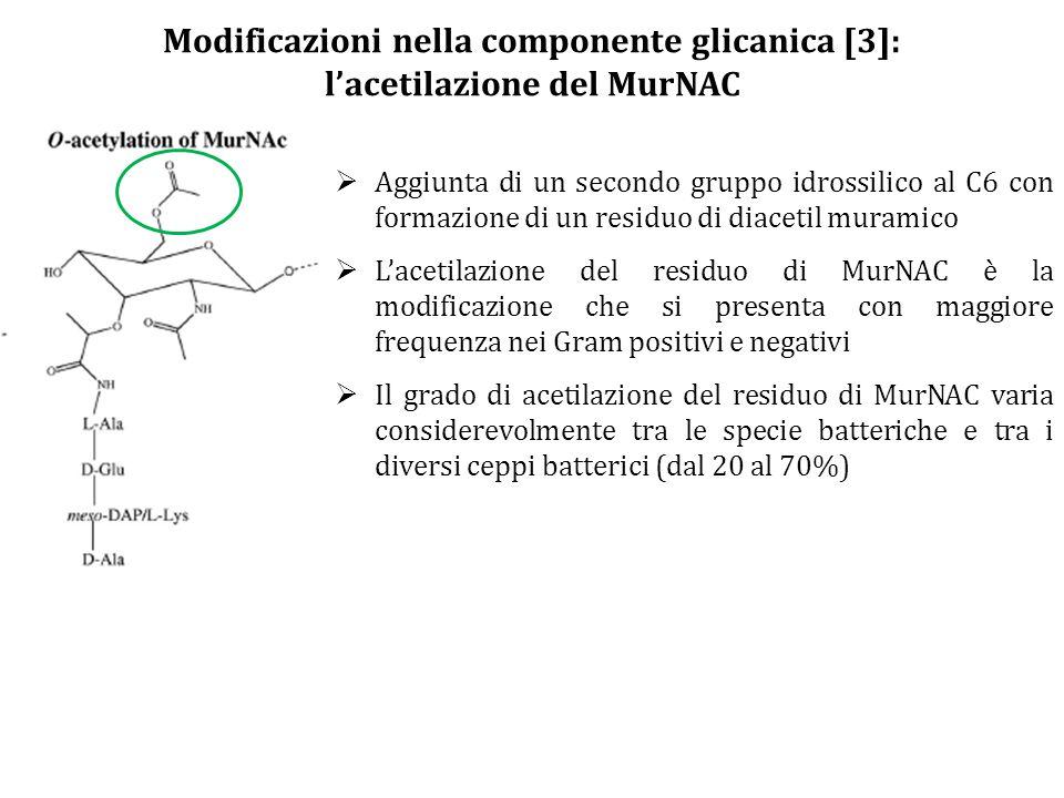 Modificazioni nella componente glicanica [3]: l'acetilazione del MurNAC  Aggiunta di un secondo gruppo idrossilico al C6 con formazione di un residuo di diacetil muramico  L'acetilazione del residuo di MurNAC è la modificazione che si presenta con maggiore frequenza nei Gram positivi e negativi  Il grado di acetilazione del residuo di MurNAC varia considerevolmente tra le specie batteriche e tra i diversi ceppi batterici (dal 20 al 70%)