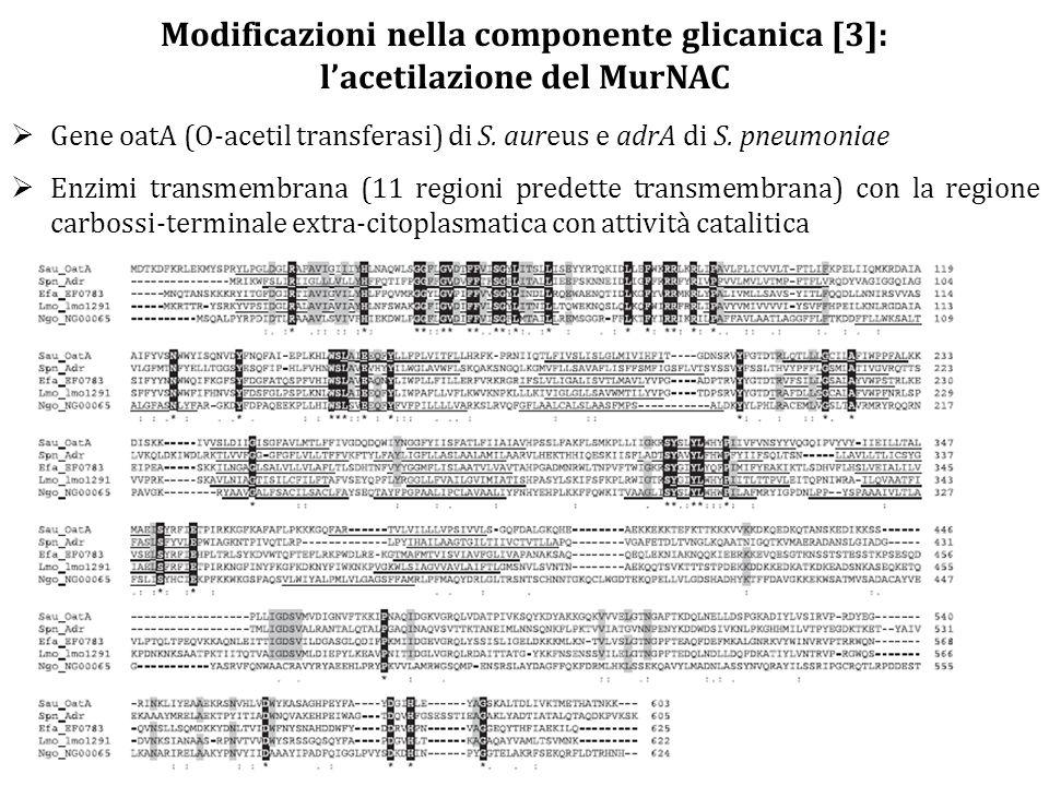  Gene oatA (O-acetil transferasi) di S. aureus e adrA di S. pneumoniae  Enzimi transmembrana (11 regioni predette transmembrana) con la regione carb