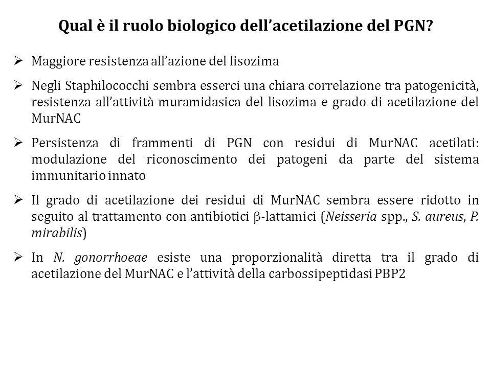 Qual è il ruolo biologico dell'acetilazione del PGN?  Maggiore resistenza all'azione del lisozima  Negli Staphilococchi sembra esserci una chiara co