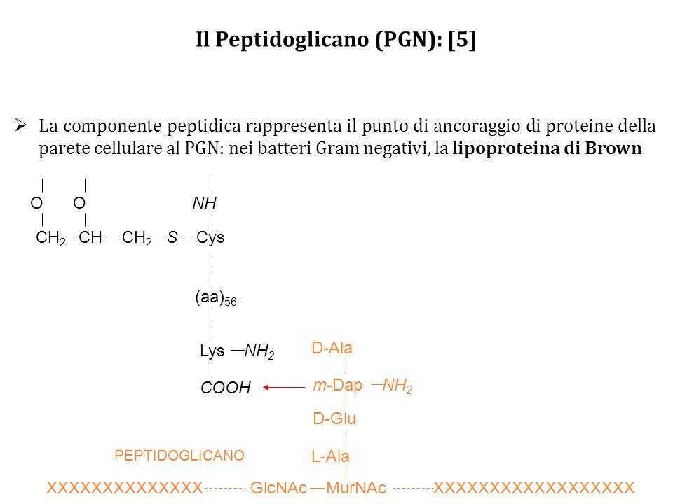 Il Peptidoglicano (PGN): [5]  La componente peptidica rappresenta il punto di ancoraggio di proteine della parete cellulare al PGN: nei batteri Gram negativi, la lipoproteina di Brown CH 2 CH CH 2 S Cys OONH (aa) 56 Lys NH 2 COOH PEPTIDOGLICANO XXXXXXXXXXXXXX GlcNAc MurNAc XXXXXXXXXXXXXXXXXX D-Ala L-Ala D-Glu m-Dap NH 2
