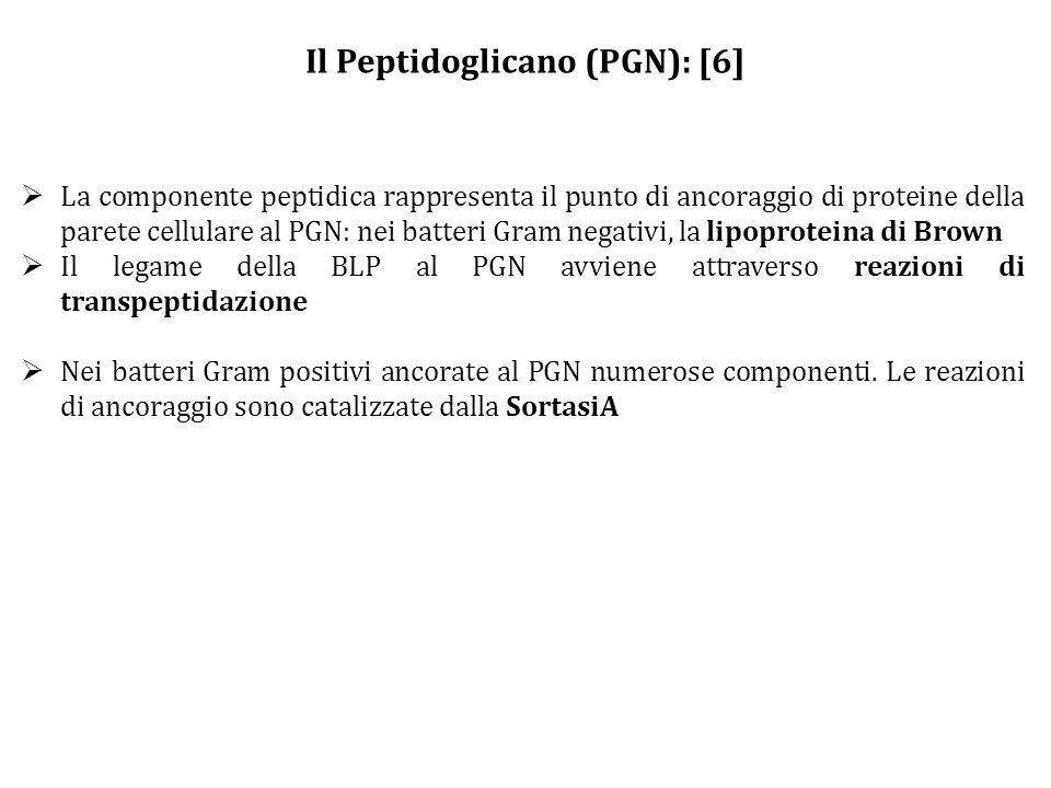 Il Peptidoglicano (PGN): [6]  La componente peptidica rappresenta il punto di ancoraggio di proteine della parete cellulare al PGN: nei batteri Gram negativi, la lipoproteina di Brown  Il legame della BLP al PGN avviene attraverso reazioni di transpeptidazione  Nei batteri Gram positivi ancorate al PGN numerose componenti.