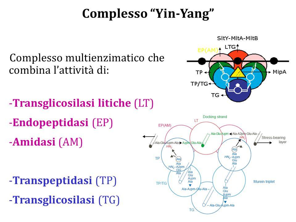 Complesso Yin-Yang Complesso multienzimatico che combina l'attività di: -Transglicosilasi litiche (LT) -Endopeptidasi (EP) -Amidasi (AM) -Transpeptidasi (TP) -Transglicosilasi (TG)