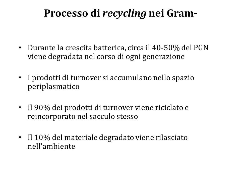Processo di recycling nei Gram- Durante la crescita batterica, circa il 40-50% del PGN viene degradata nel corso di ogni generazione I prodotti di turnover si accumulano nello spazio periplasmatico Il 90% dei prodotti di turnover viene riciclato e reincorporato nel sacculo stesso Il 10% del materiale degradato viene rilasciato nell'ambiente