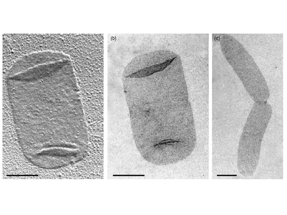 Membrana esterna Membrana interna UDP-NAM – pentapeptide MurF D-Ala – D-Ala UDP-NAM – D-Ala – L-Glu – meso-DAP Mpl murein peptide ligase UDP-NAM CITOPLASMA L-Ala – D-Glu – meso-DAP – D-Ala LdcA L,D-carboxypeptidase NAG – anh-NAM – L-Ala – D-Glu – meso-DAP – D-Ala AmpD anhMurNAc-Lala amidase LdcA L,D-carboxypeptidase NagZ Β -N-acetyl- glucosamidase PERIPLASMA MUREINA ANHYDRO MUROPEPTIDE TETRAPEPTIDE TRIPEPTIDE Opp oligopeptide permease L-Ala – D-Glu-meso-DAP L-Ala – D-Glu meso-DAP, AmiB, AmiC Amidase SltY, MltA, MltB Lytic trasglycosylases AmiA MpaA Murein peptie amidase MppA periplasmic murein peptide binding AmpG muropeptide permease Il PGN: gli enzimi del recycling
