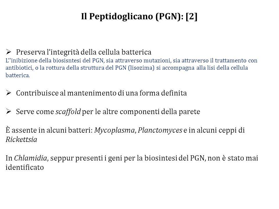 Il Peptidoglicano (PGN): [2]  Preserva l'integrità della cellula batterica L''inibizione della biosisntesi del PGN, sia attraverso mutazioni, sia attraverso il trattamento con antibiotici, o la rottura della struttura del PGN (lisozima) si accompagna alla lisi della cellula batterica.