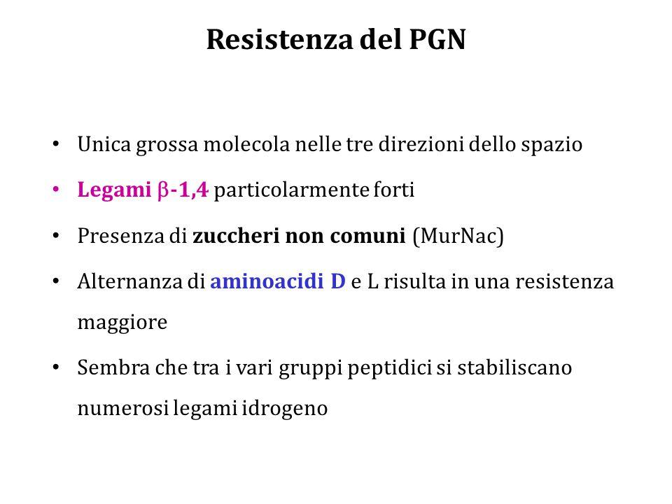 Resistenza del PGN Unica grossa molecola nelle tre direzioni dello spazio Legami  -1,4 particolarmente forti Presenza di zuccheri non comuni (MurNac) Alternanza di aminoacidi D e L risulta in una resistenza maggiore Sembra che tra i vari gruppi peptidici si stabiliscano numerosi legami idrogeno