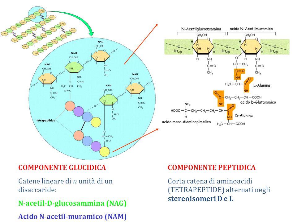 COMPONENTE GLUCIDICA Catene lineare di n unità di un disaccaride: N-acetil-D-glucosammina (NAG) Acido N-acetil-muramico (NAM) COMPONENTE PEPTIDICA Corta catena di aminoacidi (TETRAPEPTIDE) alternati negli stereoisomeri D e L
