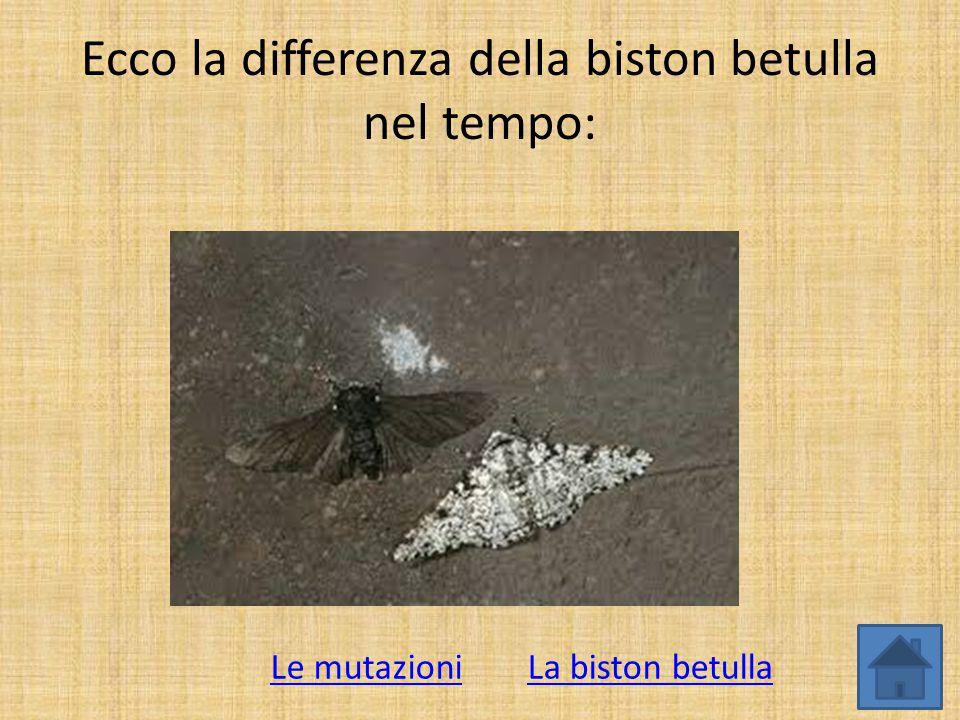 Ecco la differenza della biston betulla nel tempo: La biston betullaLe mutazioni