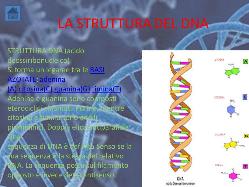 LA STRUTTURA DEL DNA STRUTTURA DNA (acido deossiribonucleico) Si forma un legame tra le BASI AZOTATE: adeninaBASI AZOTATEadenina (A)(A) citosina(C) gu