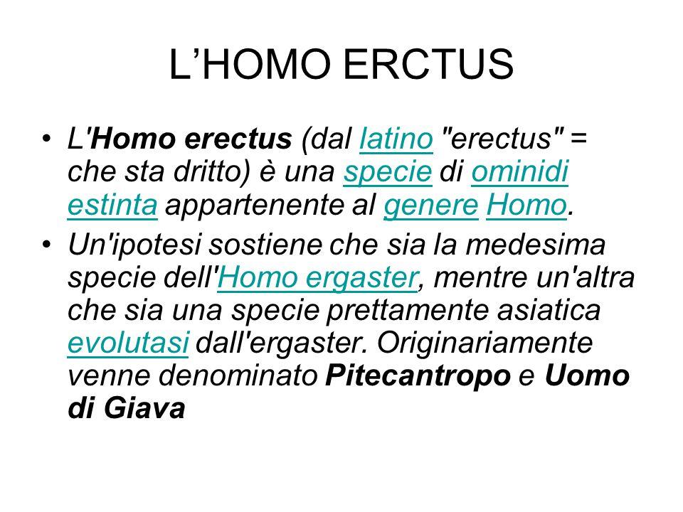 L'HOMO ERCTUS L'Homo erectus (dal latino