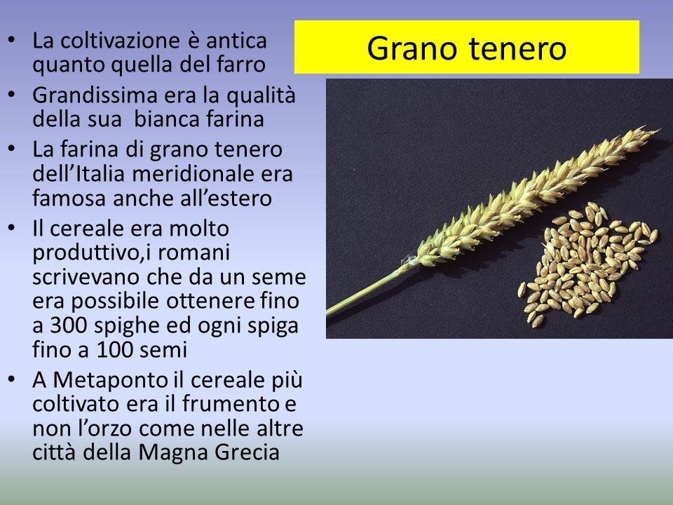 Grano tenero La coltivazione è antica quanto quella del farro Grandissima era la qualità della sua bianca farina La farina di grano tenero dell'Italia