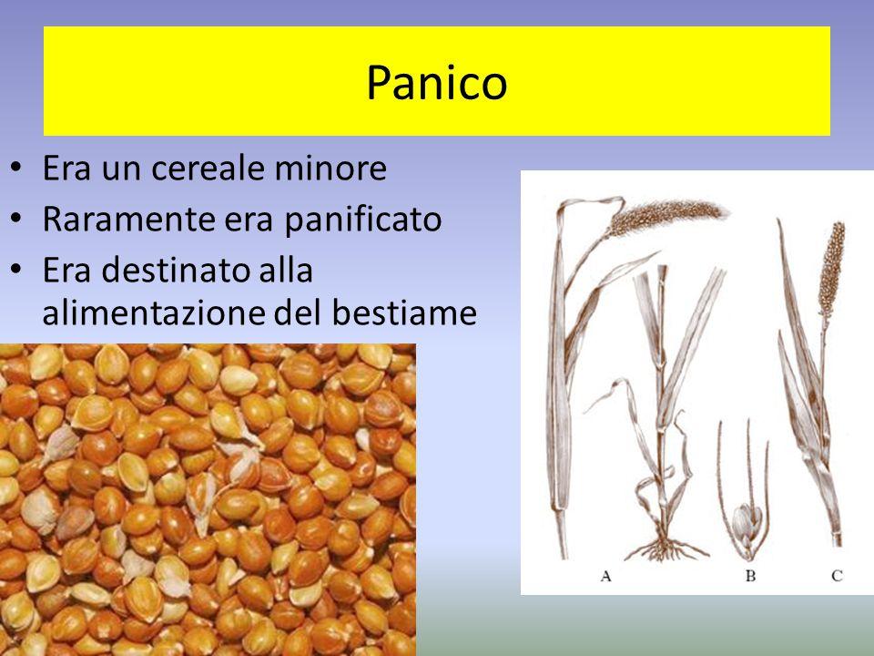 Panico Era un cereale minore Raramente era panificato Era destinato alla alimentazione del bestiame