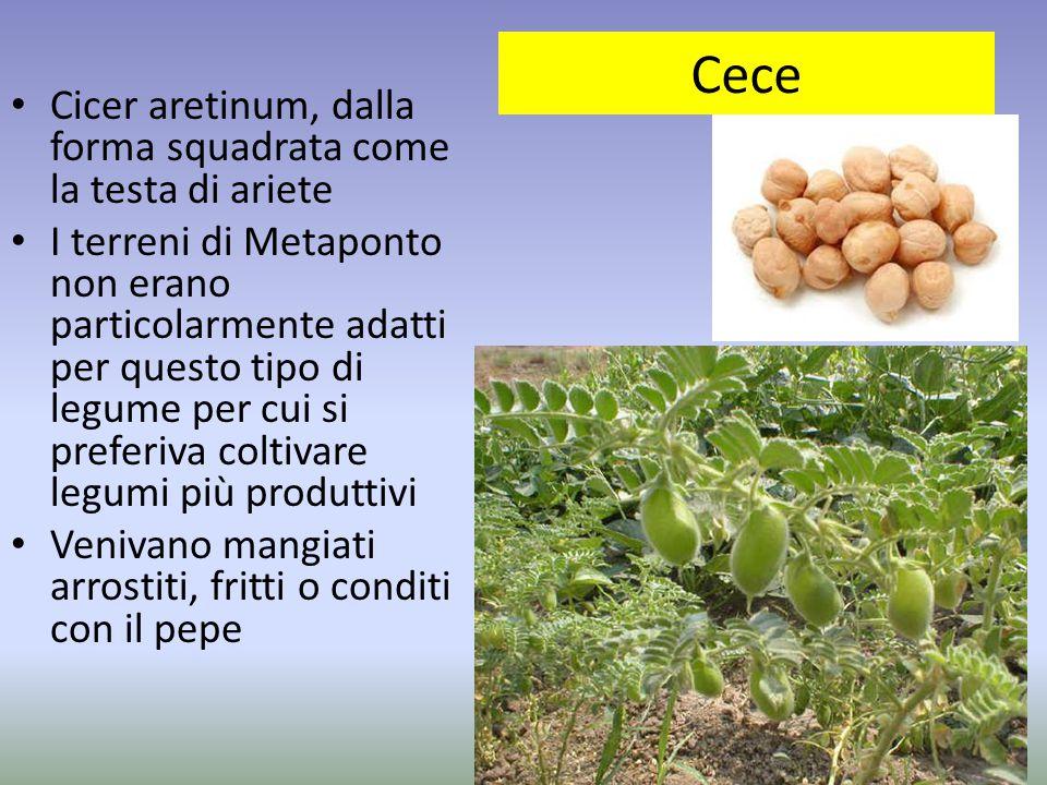 Cece Cicer aretinum, dalla forma squadrata come la testa di ariete I terreni di Metaponto non erano particolarmente adatti per questo tipo di legume p