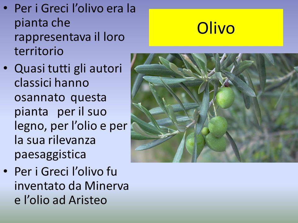 Olivo Per i Greci l'olivo era la pianta che rappresentava il loro territorio Quasi tutti gli autori classici hanno osannato questa pianta per il suo l