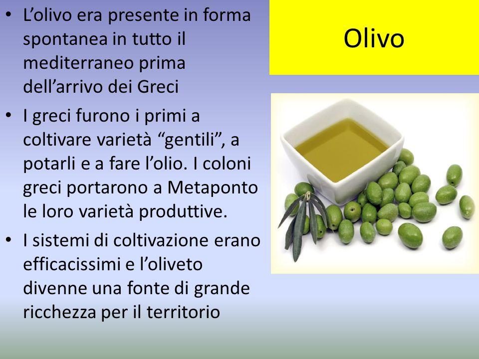 """Olivo L'olivo era presente in forma spontanea in tutto il mediterraneo prima dell'arrivo dei Greci I greci furono i primi a coltivare varietà """"gentili"""