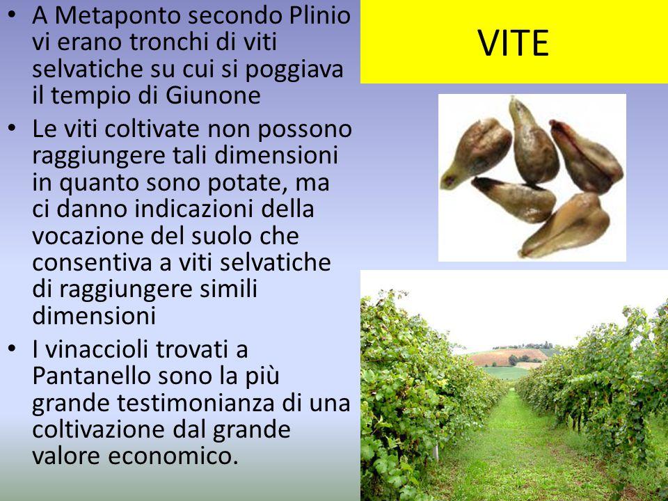 VITE A Metaponto secondo Plinio vi erano tronchi di viti selvatiche su cui si poggiava il tempio di Giunone Le viti coltivate non possono raggiungere