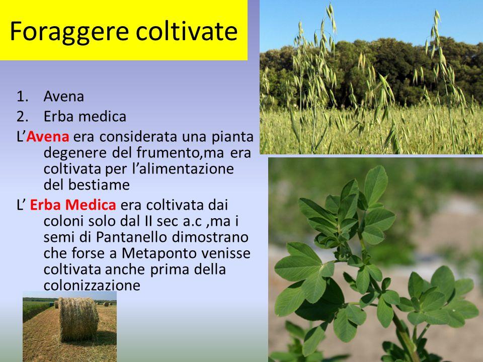 Foraggere coltivate 1.Avena 2.Erba medica L'Avena era considerata una pianta degenere del frumento,ma era coltivata per l'alimentazione del bestiame L