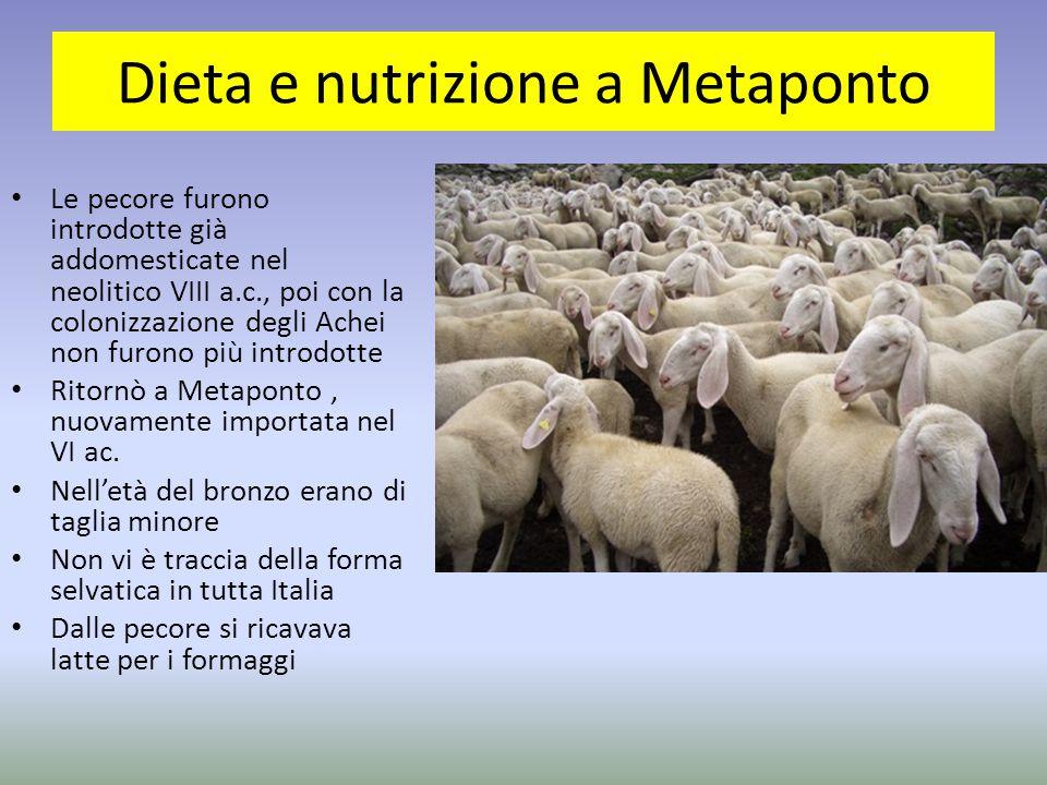 Le pecore furono introdotte già addomesticate nel neolitico VIII a.c., poi con la colonizzazione degli Achei non furono più introdotte Ritornò a Metap