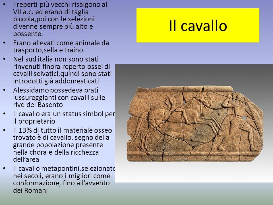 Il cavallo I reperti più vecchi risalgono al VII a.c. ed erano di taglia piccola,poi con le selezioni divenne sempre più alto e possente. Erano alleva