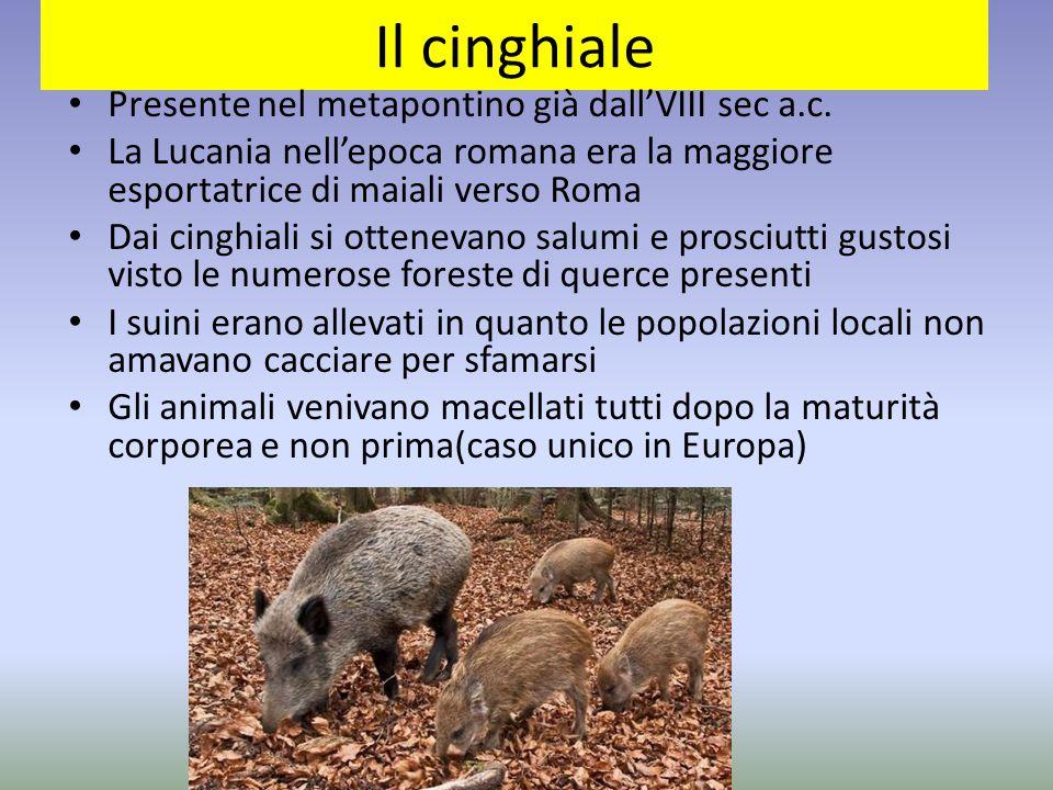 Il cinghiale Presente nel metapontino già dall'VIII sec a.c. La Lucania nell'epoca romana era la maggiore esportatrice di maiali verso Roma Dai cinghi