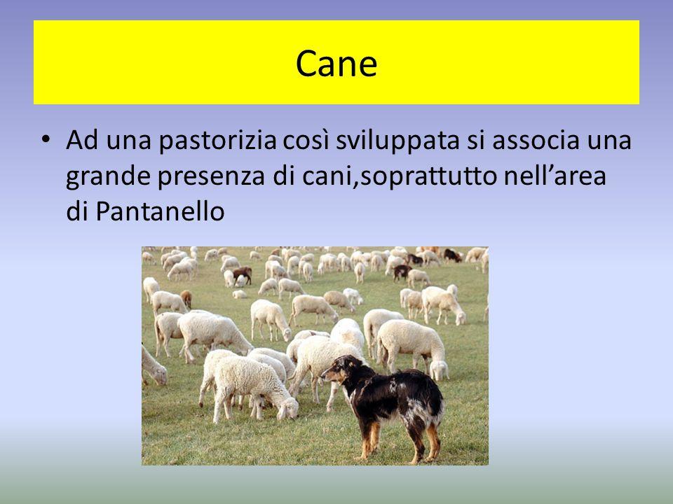 Cane Ad una pastorizia così sviluppata si associa una grande presenza di cani,soprattutto nell'area di Pantanello