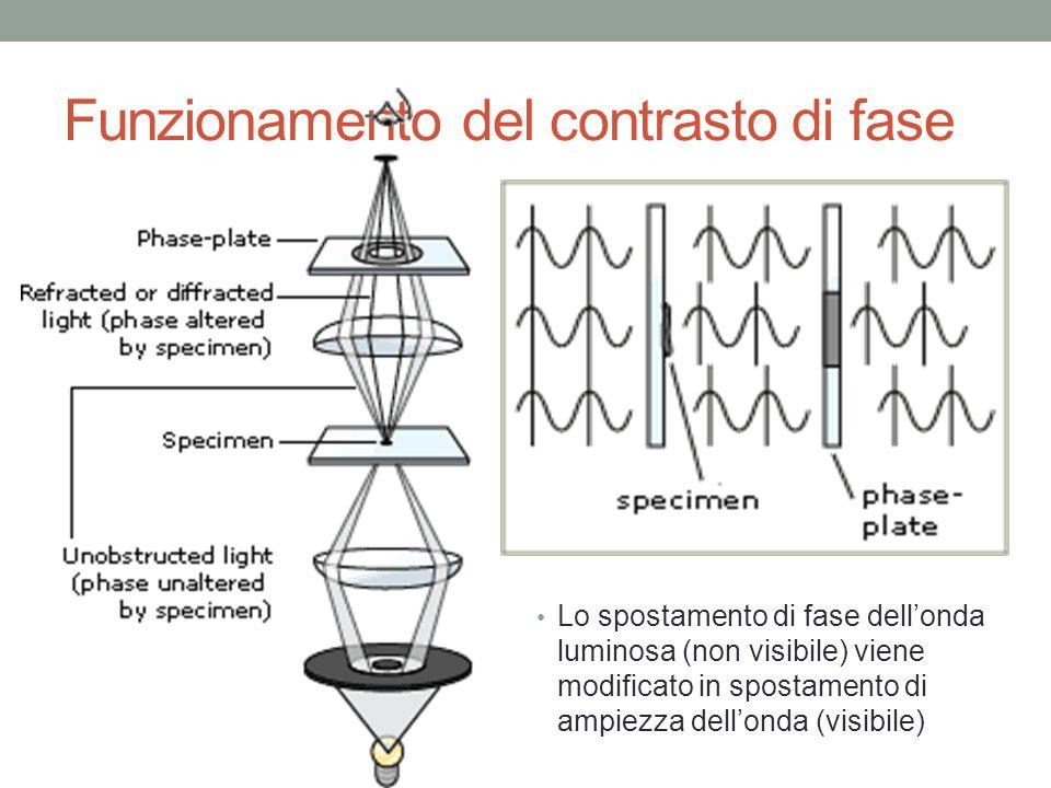 Funzionamento del contrasto di fase Lo spostamento di fase dell'onda luminosa (non visibile) viene modificato in spostamento di ampiezza dell'onda (vi