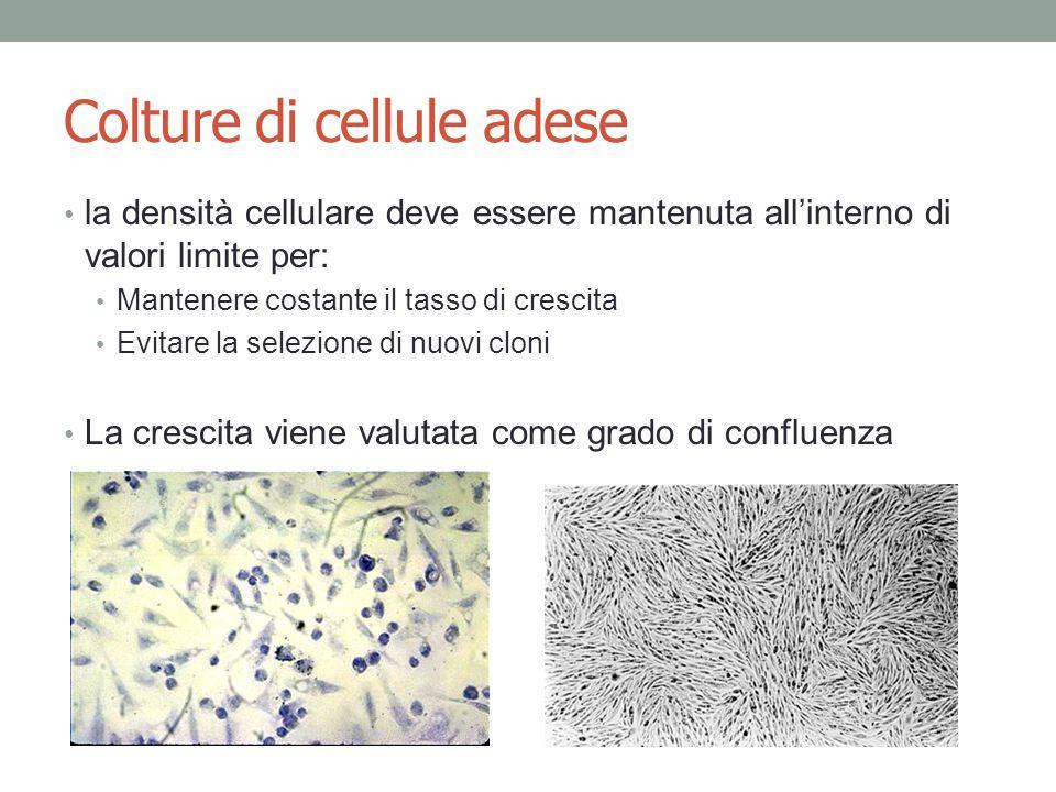 Colture di cellule adese la densità cellulare deve essere mantenuta all'interno di valori limite per: Mantenere costante il tasso di crescita Evitare