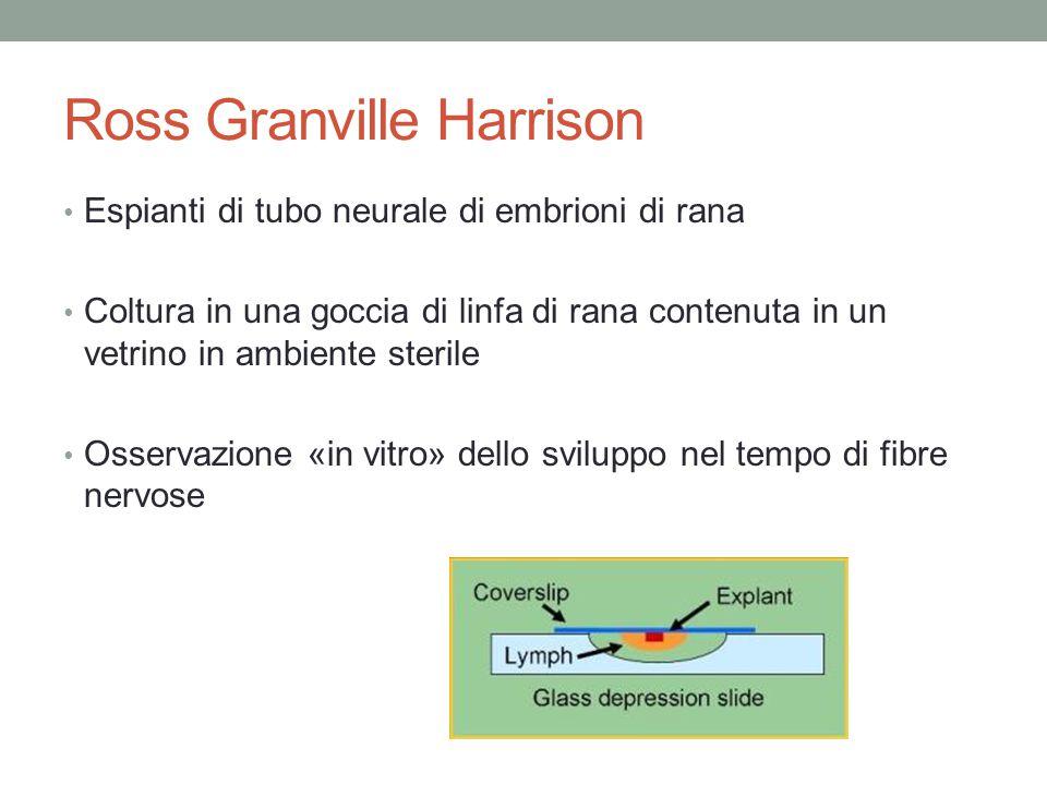 Ross Granville Harrison Espianti di tubo neurale di embrioni di rana Coltura in una goccia di linfa di rana contenuta in un vetrino in ambiente sterile Osservazione «in vitro» dello sviluppo nel tempo di fibre nervose