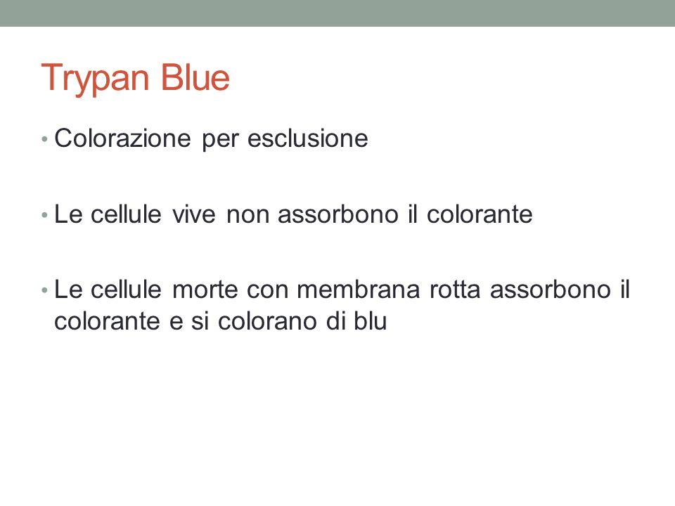 Trypan Blue Colorazione per esclusione Le cellule vive non assorbono il colorante Le cellule morte con membrana rotta assorbono il colorante e si colo