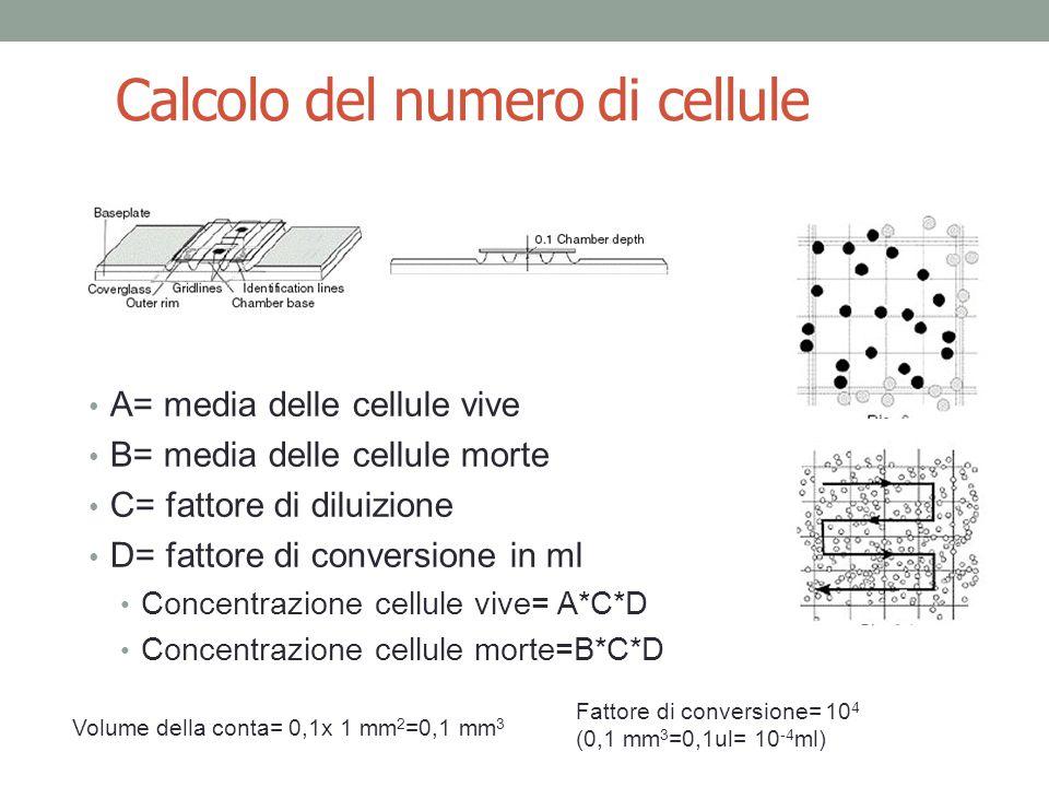 Calcolo del numero di cellule A= media delle cellule vive B= media delle cellule morte C= fattore di diluizione D= fattore di conversione in ml Concentrazione cellule vive= A*C*D Concentrazione cellule morte=B*C*D Volume della conta= 0,1x 1 mm 2 =0,1 mm 3 Fattore di conversione= 10 4 (0,1 mm 3 =0,1ul= 10 -4 ml)