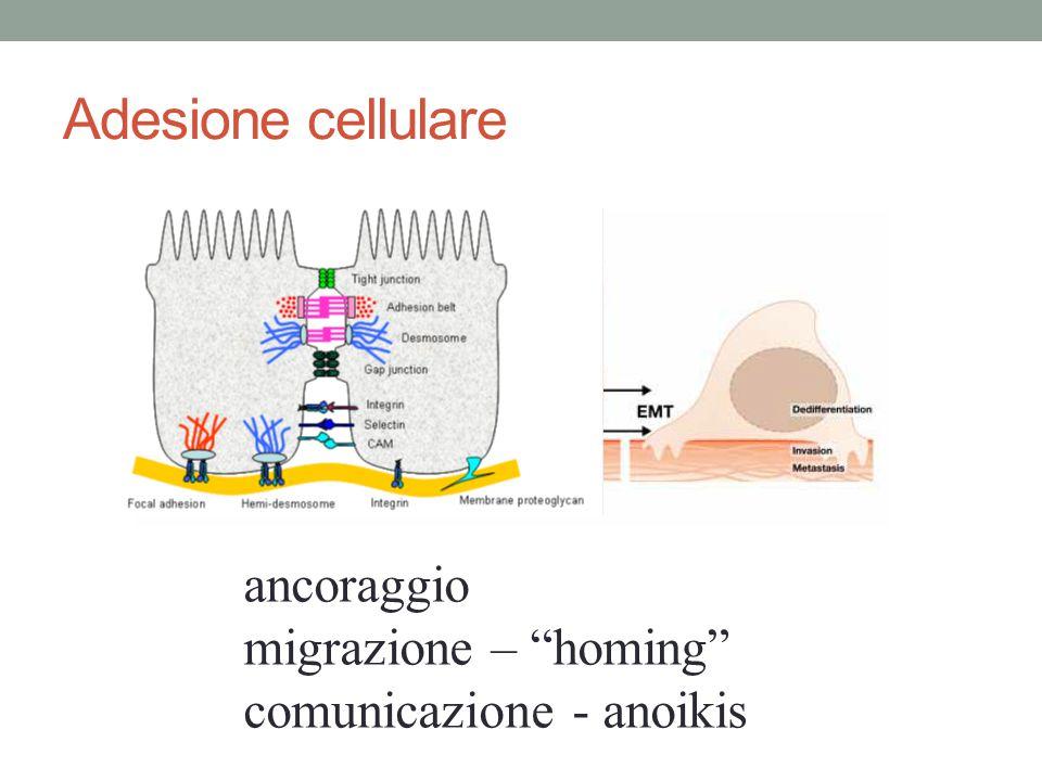 """Adesione cellulare ancoraggio migrazione – """"homing"""" comunicazione - anoikis"""