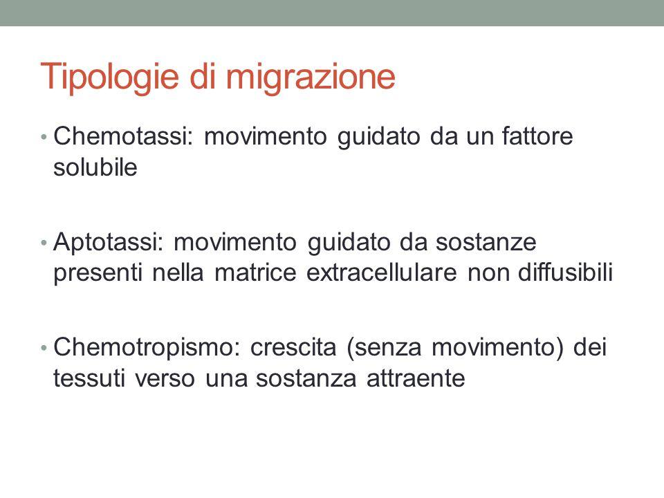 Tipologie di migrazione Chemotassi: movimento guidato da un fattore solubile Aptotassi: movimento guidato da sostanze presenti nella matrice extracell