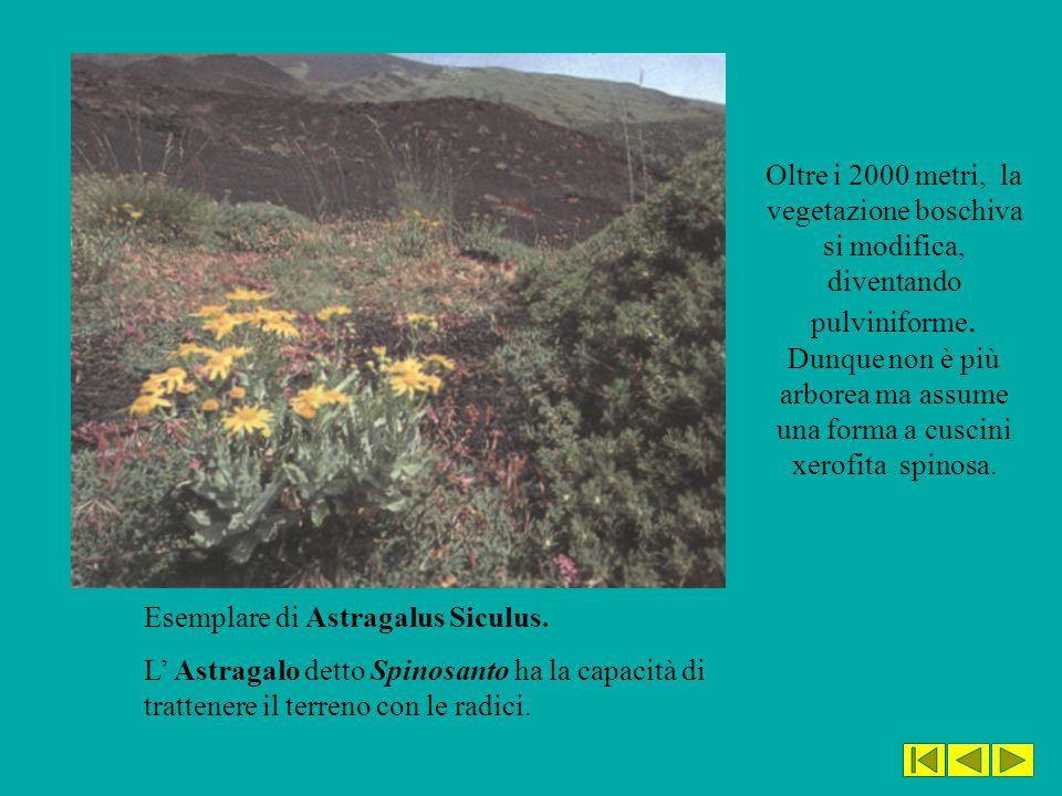 Esemplare di Astragalus Siculus. L' Astragalo detto Spinosanto ha la capacità di trattenere il terreno con le radici. Oltre i 2000 metri, la vegetazio