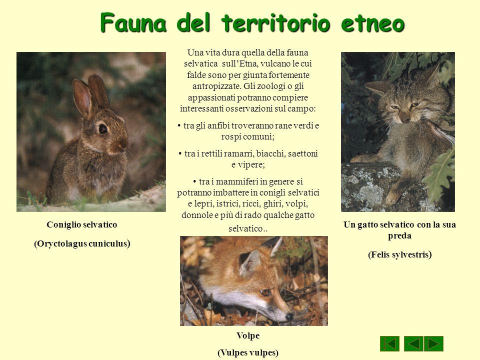 Fauna del territorio etneo Coniglio selvatico (Oryctolagus cuniculus ) Volpe (Vulpes vulpes) Un gatto selvatico con la sua preda (Felis sylvestris ) U