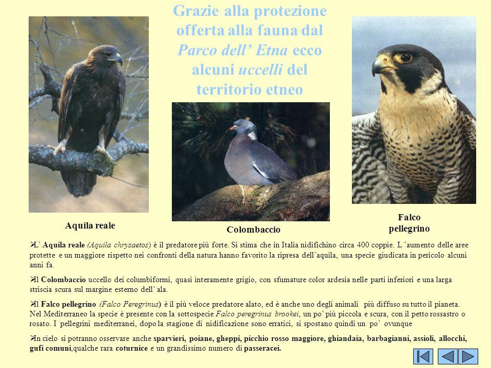 Grazie alla protezione offerta alla fauna dal Parco dell' Etna ecco alcuni uccelli del territorio etneo Aquila reale Falco pellegrino Colombaccio  L'