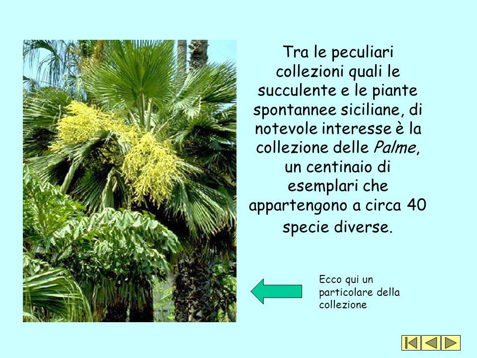 Tra le peculiari collezioni quali le succulente e le piante spontannee siciliane, di notevole interesse è la collezione delle Palme, un centinaio di e