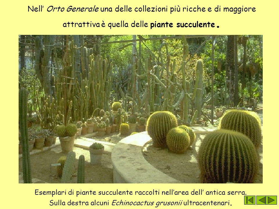 Nell' Orto Generale una delle collezioni più ricche e di maggiore attrattiva è quella delle piante succulente. Esemplari di piante succulente raccolti