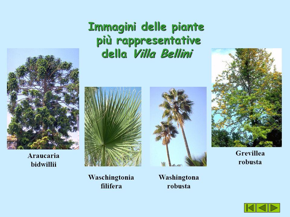 Immagini delle piante più rappresentative della Villa Bellini Araucaria bidwillii Grevillea robusta Washingtona robusta Waschingtonia filifera