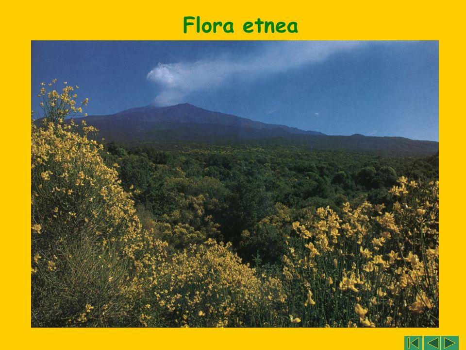 Flora etnea