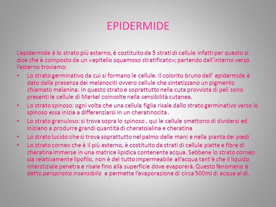 EPIDERMIDE L'epidermide è lo strato più esterno, è costituito da 5 strati di cellule infatti per questo si dice che è composto da un «epitelio squamoso stratificato»; partendo dall'interno verso l'esterno troviamo: Lo strato germinativo da cui si formano le cellule.
