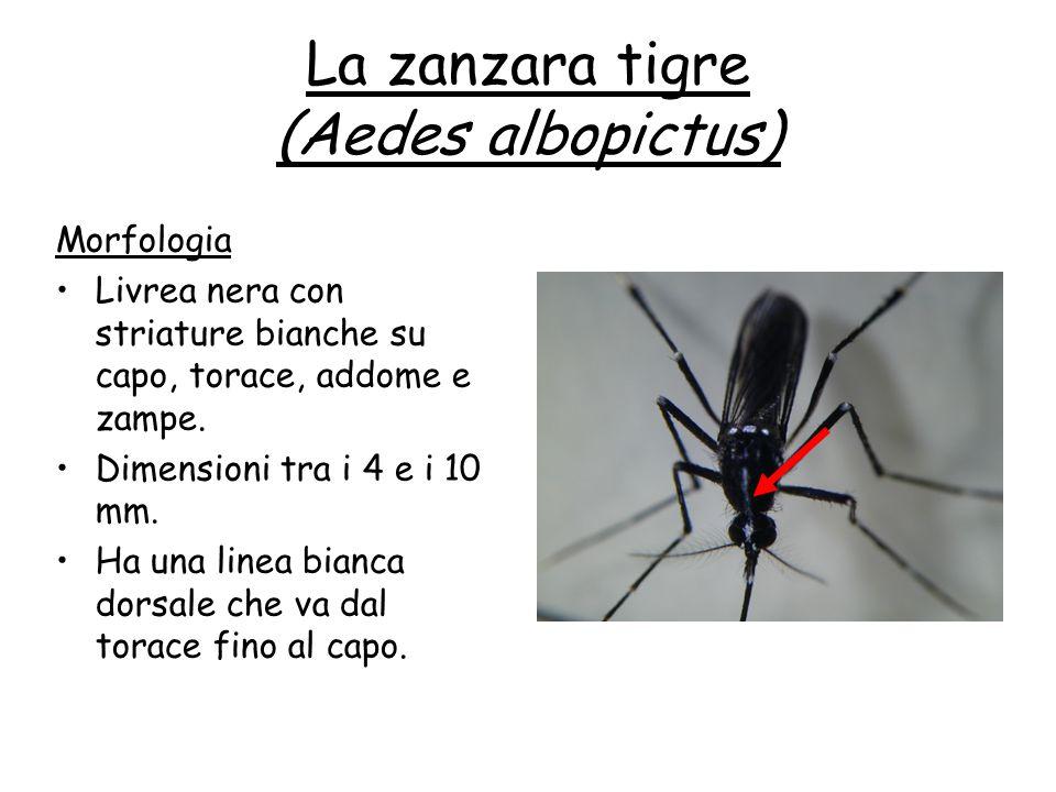 La zanzara tigre (Aedes albopictus) Morfologia Livrea nera con striature bianche su capo, torace, addome e zampe. Dimensioni tra i 4 e i 10 mm. Ha una