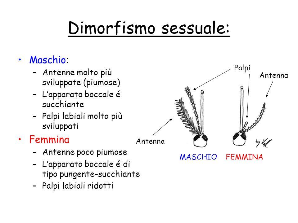Dimorfismo sessuale: Maschio : –Antenne molto più sviluppate (piumose) –L'apparato boccale é succhiante –Palpi labiali molto più sviluppati Femmina –A