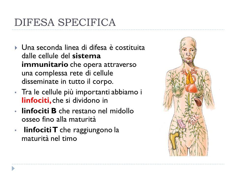 DIFESA SPECIFICA  Una seconda linea di difesa è costituita dalle cellule del sistema immunitario che opera attraverso una complessa rete di cellule d