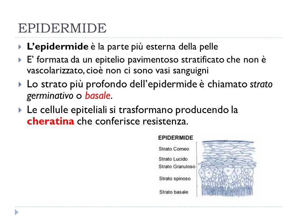 EPIDERMIDE  L'epidermide è la parte più esterna della pelle  E' formata da un epitelio pavimentoso stratificato che non è vascolarizzato, cioè non c