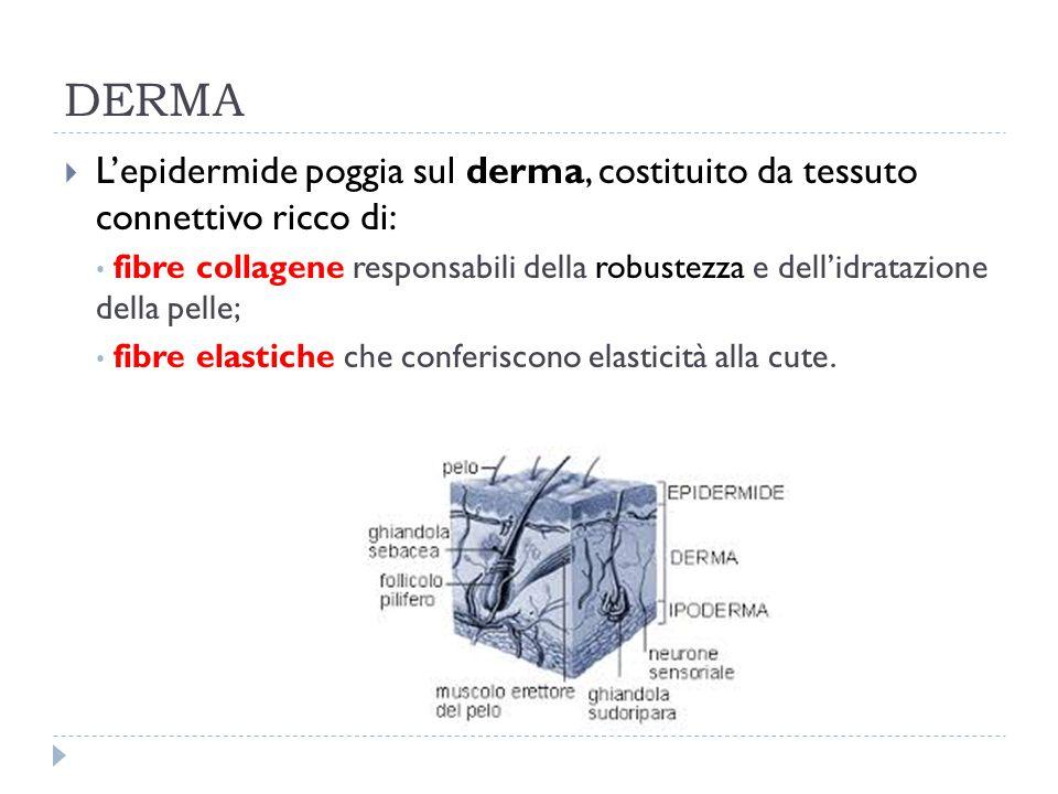 DERMA  L'epidermide poggia sul derma, costituito da tessuto connettivo ricco di: fibre collagene responsabili della robustezza e dell'idratazione del