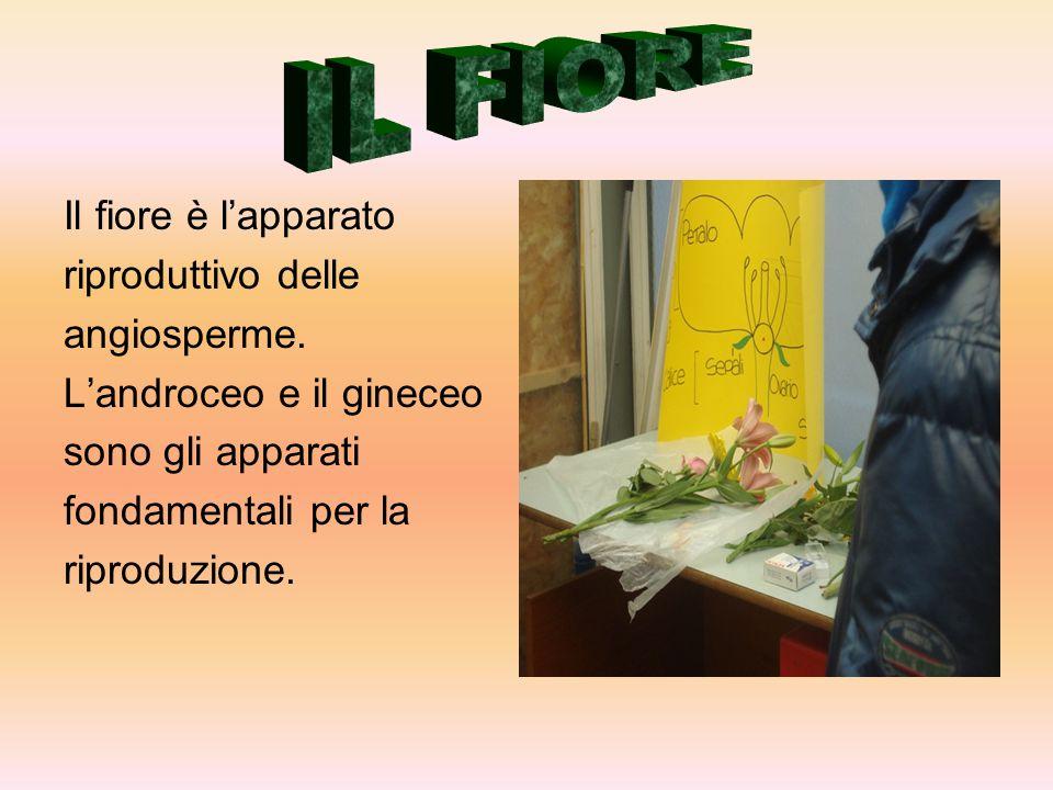 Il fiore è l'apparato riproduttivo delle angiosperme. L'androceo e il gineceo sono gli apparati fondamentali per la riproduzione.